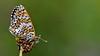 Melitaea cinxia (KOMSIS) Tags: kelebek butterfly papillon farfalla schmetterlinge borboleta mariposa vlinder leptir πεταλούδα فراشة пеперутка פרפר ქელებეკი پروانه лептир 蝶 ผีเสื้อ пеперуда तितली လိပ်ပြာ kupukupu conbướm dagfjärilar fluture bábochka бабочка fjärilar fiðrildi féileacán kəpənək көбелек матылёк motyl motýlů motýlech motýl motýľ päiväperhonen perhonen pillangó tximeleta animal animalia arthropoda lepidoptera melitaea fritillary melitaeacinxia glanvillefritillary nymphalidae iperhankelebeği insect catchy colorful catchycolors green wow ngc buzznbugz visipix macro serene outdoor wildlife field landscape nikon nikondigital nikond800e sigma 150mm os animalwing бабочки