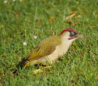 Green woodpecker eyes shut ready for impact!