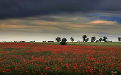 Otra de la primavera en Tierra de Campos.... (Garciamartín) Tags: primavera paisaje amapolas nubes naturaleza flor tierradecampos valladolid castillaleón castilla nino garciamartín