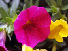 Balkon rot und gelb (magritknapp) Tags: blüten rot gelb bokeh flowers red yellow fleurs rouge jaune amarillo flores de color rojo amarelo vermelhas fiori rossi giallo