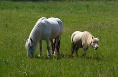 Sonntagsspaziergang 2 (fotomänni) Tags: natur nature naturfotografie naturephotography natureshots naturimpressionen natureimpressions naturephotograps manfredweis tier tierfotografie pferd horse pferde horses cheval