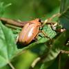 Grapevine Beetle  (Pelidnota punctata) (kecheeks803) Tags: grapevinebeetle pelidnotapunctata spottedjunebeetle spottedpelidnota beetle scarabbeetle scarabaeidae coleoptera silverbluffauduboncenter aikencounty southcarolina