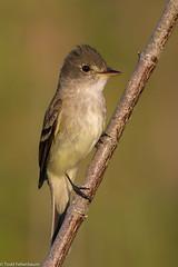 BJ8A8945-Willow Flycatcher (tfells) Tags: willowflycatcher bird nature wildlife newjersey mercer flycatcher