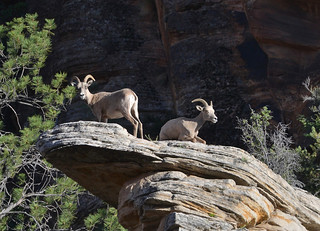 Big Horn - Zion National Park