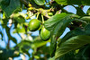 The Greengages are Coming (Wargus) Tags: garden greengage home manualfocuslens pentaxk3 smcpentax85mmf18 sky sun sunlight tree