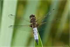 Libellule fauve ♂ - Scarce Chaser - Libellula fulva (R. Bartho) Tags: extérieur animal insecte libellule odonate anisoptère roseaux rougecloître