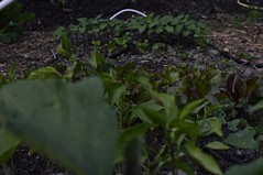 June 2017 polyculture garden update - 20 (pakovska) Tags: garden gardening vegpatch allotment potager jardin jardinage moestuin volkstuin forestgarden groentetuin permaculture polyculture