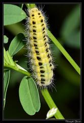 Chenille de la Zygène de la Coronille (Zygaena ephialtes) sur Securigera varia (cquintin) Tags: arthropoda lepidoptera zygaenidae zygaena ephialtes chenille caterpillar macroinsectes