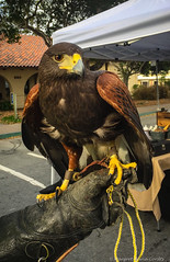 Falcon Patrol - for scaring seagulls away from businesses and sidewalks (Margret Maria Cordts) Tags: pacificgrove california unitedstates us