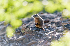 Standing in the light (jrlarson67) Tags: yellow yellowbellied marmot rocks standing rodent critter animal wildlife nature yellowstone nationalpark