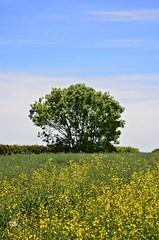 IG: @meowpaw (MeowPawJournals) Tags: fields plants green flowers whiteflowers wheat wheatfields england englandfields poppies country countryside explore naturaleza camposdetrigo margaritas amapolas
