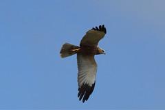 IMGP2602a Marsh Harrier, RSPB Titchwell, May 2017 (bobchappell55) Tags: rspbtitchwellmarsh nature naturereserve norfolk wild wildlife bird marshharrier birdofprey