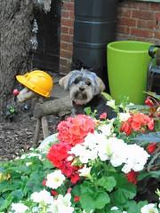 Flo Yorkie Poo Loves her mums flowers (@oakhamuk) Tags: flo yorkiepoo loves her mums flowers martinbrookes