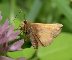 Skipper (Hesperiidae)