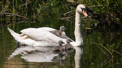 Swan family (pstani) Tags: england essex hatfieldforest uk bird muteswan swan