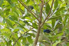 Shining Honeycreepers (J.B. Churchill) Tags: birds costarica heredia laselvaotsreserve places shho shininghoneycreeper tanagershoneycreepers taxonomy cr laselva