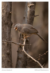 Jungle Babbler (aliceonaroll) Tags: wildlife birding ranthambhore indian jungles birds babblers india forest