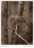 Jungle Babbler (aliceonaroll) Tags: wildlife birding ranthambhore indian jungles birds babblers india forest