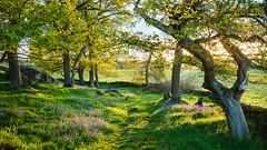 Spring greens (J C Mills Photography) Tags: peakdistrict derbyshire spring evening warm light woodland oak gritstone harthill robin hoods stride england uk grass fields bluebells leaves green landscape