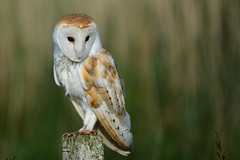 Barn Owl (toothandclaw1) Tags: