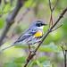 Yellow-rumped Warbler [32100]