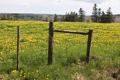 South Granville, PEI (Craigford) Tags: southgranville pei canada field dandelions fence barbedwire