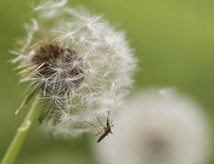 Spring (Budgetographer) Tags: spring mosquito dandelion green insect macro nikon d7100 tokina 100mm summer nature forest animal scenery tree landscape garden naturephotography sun light art park city new canada newbrunswick white bug country ground 00 fredericton