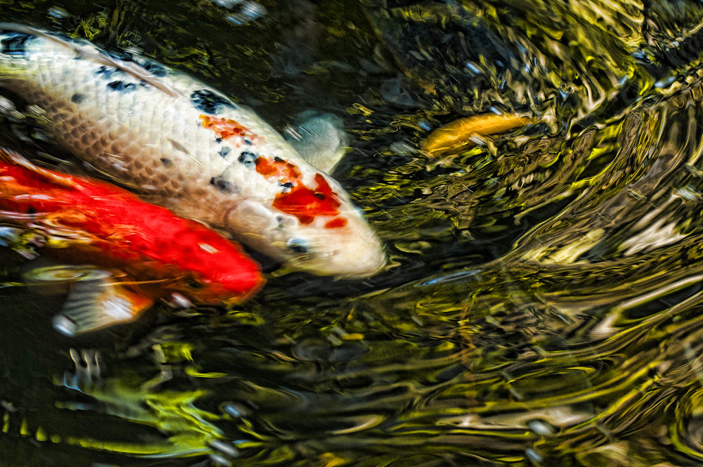 The world 39 s best photos of koi and water flickr hive mind for Oldest koi fish