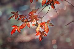 Memories of fall (z_a_r_a___c_a_l_i_s_t_a) Tags: light bokeh depthoffield orange bright color colorful dof nikkor nikon dreamy pastel yellow leaves tree branch twig d750 300mm