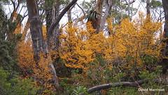 Nothofagus gunnii (Rotuli) Tags: nothofagusgunnii fagus decidousbeech nothofagaceae lakefenton mtfieldnationalpark tasmania australia endemic