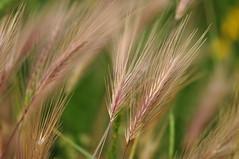 Essex Shoeburyness (daveknight1946) Tags: essex shoeburyness gunnerspark grasses wild