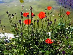 Mohnblumen am Teich (magritknapp) Tags: botanischergarten mohn teich botanicalgarden poppy pond « jardin botanique » étang papaver estanque jardínbotánico jardimbotânico lagoa giardinobotanico stagno