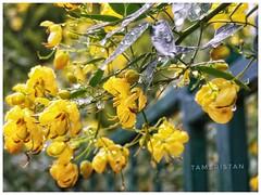 Have a good sunday. (tameristan) Tags: flower yellow nature çiçek sarı sarilacivert doğa garden bahçe canonpowershot canonpowershotsx610hs tameristan kadrajimdan kadrajarkasi photography photograph beautiful güzellik kodakmoments kodak