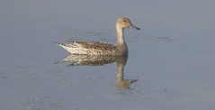 Northern Pintail (Female)