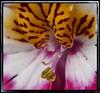 Schizanthus  x wisetonensis (Develew) Tags: flowers poormansorchid olympusepl3 pen olympuspen 1442mmez