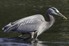 Breakfast for the Great Blue Heron (Ardea herodias) (Chatham Sound) Tags: greatblueheron shorebird fishers nikon d5