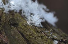 Lonely flake (Яна Андреева) Tags: frozen ice macro macrophotography closeup closeupphotography frozenplant plant icyplant winter cold icecold snow snowflake snowflakephotography icephotography beauty beautiful beautyofnature wintercold