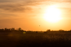 Kankakee Sands © Jason Whalen/Big Foot Media (JWhalenPhotography) Tags: 2017 bigfootmedia bison indiana jasonwhalen kankakee kankakeesands nature spring prairie sunset