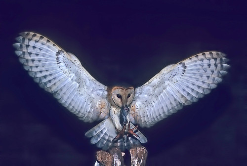 Western Barn Owl, in Round store wide open wings  with prey