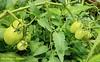 Green Tomatoes, El Salvador