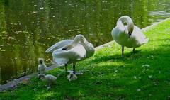 Mute swan family (marieckejanssen) Tags: swan zwaan mute knobbelzwaan vogel bird rotterdam noordsingel familie family cygnus olor white water gras