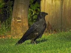 A Glint In The Eye (Deepgreen2009) Tags: eye clint carrion crow black corvid garden home evening bird wildlife