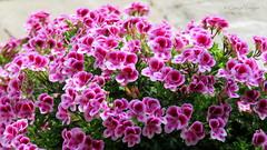 🌺🌺🌺🌺🌺 (✿ Graça Vargas ✿) Tags: flower graçavargas ©2017graçavargasallrightsreserved geranio geramium gerânio geranium pelargoniumdomesticum 11304070617 corfu greece