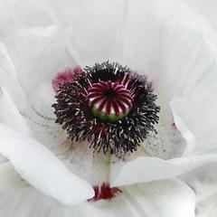 White Poppy (Jean Turner Cain) Tags: flower flora floral flowers fleur bloem blomst white poppy jeanturnercain art texture textured textures