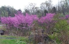 Nature (jem1863) Tags: redbudtreestrees floweringtrees springtrees