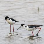 Black-necked Stilt  1Z9A2959 thumbnail