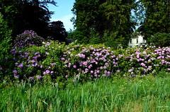 Flowers in the Woods (JaapCom) Tags: jaapcom woods flowers flowering fleurs flower natural natuur netherlands ijsselvliedt wezep trees rhododendrons