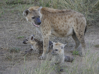Hyena Family-Kruger NP