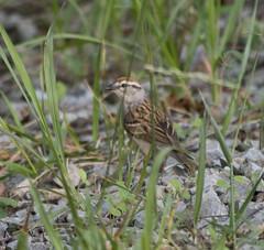 Chipping Sparrow, Garden of The Gods Wilderness, IL (Ranger Robb) Tags: gardenofthegodsillinois shawneenationalforest nature