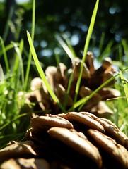 on the ground . . . (C.Kalk DigitaLPhotoS) Tags: tannenzapfen pinecone cone closeup macro makro gras grass bokeh natur nature ontheground grün green sunny sonnig outdoor